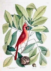 Print of Mark Catesby's painting of the Cardinal in a hickory tree.