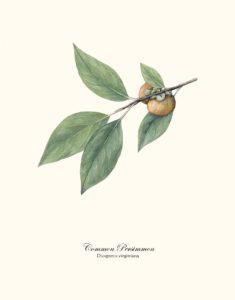 Common Persimmon