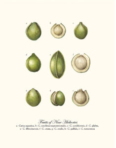 Fruits of Nine Hickories